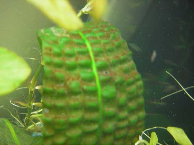 James' Planted Tank - Algae Guide