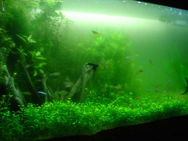 Heeelllppp tropical fish forums for Green water in fish tank
