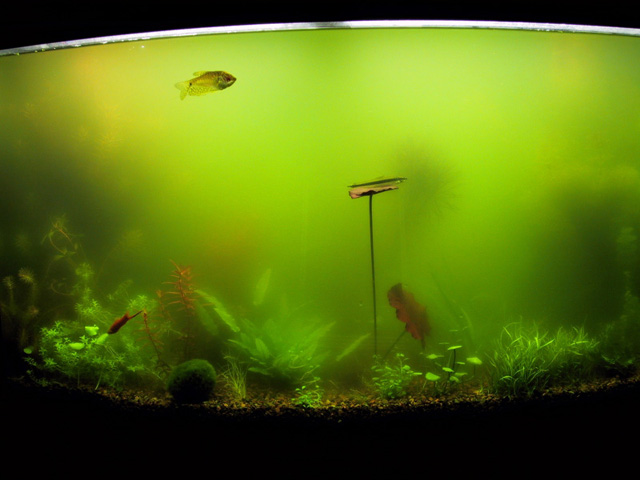 Cycling an empty tank page 2 tropical fish forums for Green water in fish tank